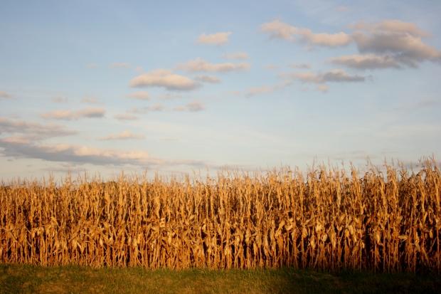 Corn Field & Stunning Sky
